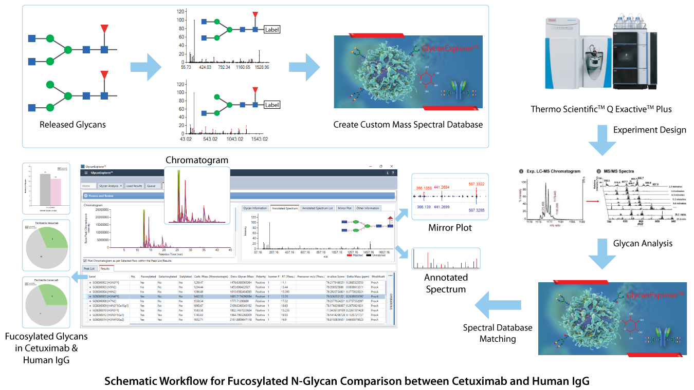 Schematic Workflow for Fucosylated N-Glycan Comparison between Cetuximab and Human IgG