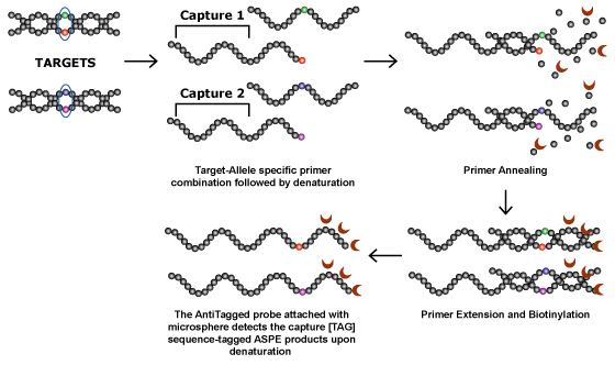 allele specific primer extension process